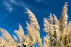 Group of pampas grass Royalty Free Stock Photos