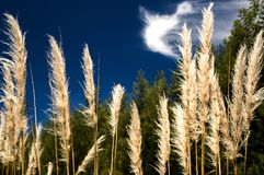 Group of pampas grass flowers royalty free stock photo