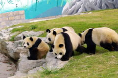 A group of pandas. Many pandas playing together, it is difficult to see Stock Photos