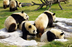 A group of pandas. Many pandas playing together, it is difficult to see Royalty Free Stock Image