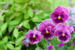 Group of pansy in the garden Royalty Free Stock Photo