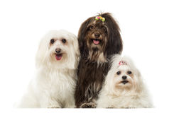 Group of panting dogs, Maltese and Havanese, isolated. On white Stock Photo