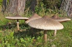 Group of Parasol Mushrooms. Macrolepiota procera or Lepiota procera, on the edge of woodland Stock Photography