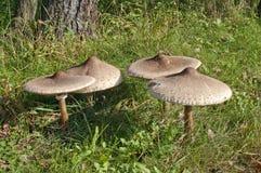 Group of Parasol Mushrooms. Macrolepiota procera or Lepiota procera, on the edge of woodland Stock Image