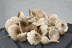 Group of parasol mushrooms on the table Royalty Free Stock Image