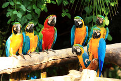 Group parrot macaws
