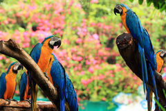 Group parrot macaws Royalty Free Stock Image