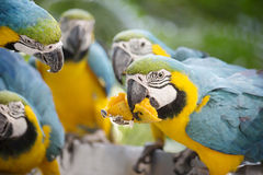 The group of parrots blue and yellow macaw divide mango. Stock Images