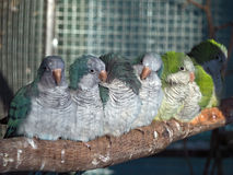 Group of parrots sitting at branch Stock Images