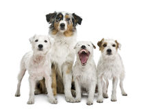 Group of parson russel and an Australian shepherd Stock Photo