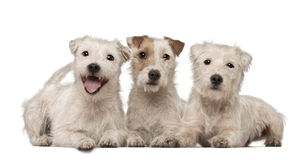 Group of Parson Russell Terriers lying Royalty Free Stock Image