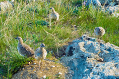 Group partridge birds Royalty Free Stock Images