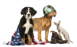 Group of Patriotic dogs and cat. Isolated royalty free stock image
