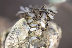 Group of pavement ants Royalty Free Stock Image