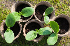 Group of peat pots with young vagetable plants on the ground Royalty Free Stock Images