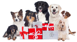 Group of pedigree dogs with christmas gifts Stock Image