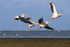 Group of pelecanus onocrotalus in air Stock Photo