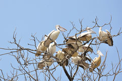 Group of Pelican Royalty Free Stock Photography