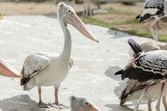 Pelican bird standding. royalty free stock images