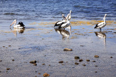Group of pelicans. By the sea royalty free stock photos