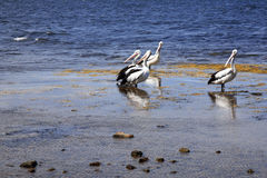 Group of pelicans. By the sea stock photography