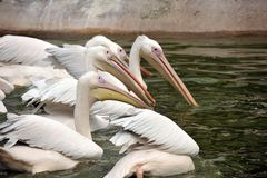 Group of Pelicans Stock Photos