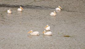 Group of Pelicans Royalty Free Stock Image