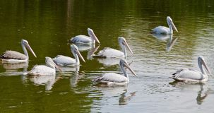 A group of pelicans Royalty Free Stock Photography