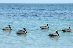 Group of pelicans. A group of five wild pelicans sitting on blue sea water Stock Photo