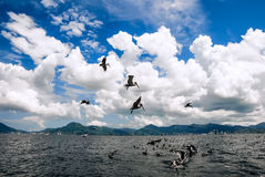 Group of pelicans behind a trawler boat catching fish and flying above Trinidad and Tobago Stock Photos