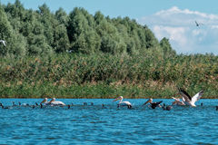 Group of pelicans and cormorants fishing together. Royalty Free Stock Image