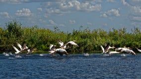 Romanian pelicans stock image