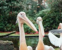 Group of pelicans on the edge of a puddle in the Zoo. Group of pelicans on the edge of a puddle iin Burgers ` Zoo in The Netherlands royalty free stock photography