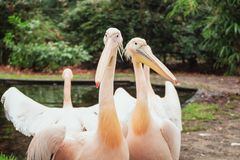 Group of pelicans on the edge of a puddle in the Zoo. Group of pelicans on the edge of a puddle iin Burgers ` Zoo in The Netherlands stock photo