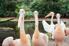 Group of pelicans on the edge of a puddle in the Zoo. Group of pelicans on the edge of a puddle iin Burgers ` Zoo in The Netherlands royalty free stock images