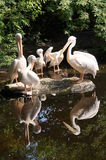 Group Pelicans Royalty Free Stock Image