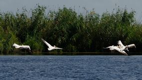 Pelicans in the Danube Delta stock photo