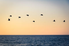 Group of pelicans flying on the beach at sunset - Puerto Vallarta, Jalisco, Mexico Stock Photo