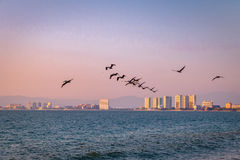 Group of pelicans flying on the beach at sunset - Puerto Vallarta, Jalisco, Mexico Royalty Free Stock Photo