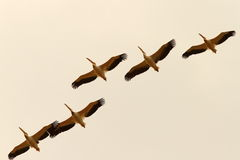 Group of pelicans flying in formation Stock Photos