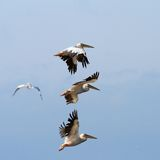 Group of pelicans flying over the sky Royalty Free Stock Photos