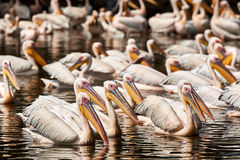 Group of Pelicans Royalty Free Stock Photography