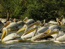 Group of pelicans in Lake Chamo. Ethiopia stock photos
