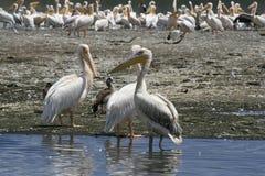 Flock of pelicans on the lake Nakuru. Sunrise morning. Kenya. Group of pelicans on the lake Nakuru. Sunrise morning. Kenya royalty free stock image