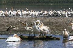 Flock of pelicans on the lake Nakuru. Sunrise morning. Kenya. Group of pelicans on the lake Nakuru. Sunrise morning. Kenya stock photos