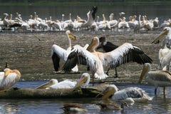 Flock of pelicans on the lake Nakuru. Sunrise morning. Kenya. Group of pelicans on the lake Nakuru. Sunrise morning. Kenya stock image