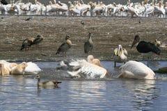 Flock of pelicans on the lake Nakuru. Sunrise morning. Kenya. Group of pelicans on the lake Nakuru. Sunrise morning. Kenya royalty free stock photography