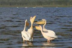Flock of pelicans on the lake Nakuru. Sunrise morning. Kenya. Group of pelicans on the lake Nakuru. Sunrise morning. Kenya royalty free stock photos