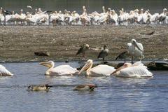 Flock of pelicans on the lake Nakuru. Sunrise morning. Kenya. Group of pelicans on the lake Nakuru. Sunrise morning. Kenya royalty free stock photo