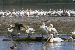 Flock of pelicans on the lake Nakuru. Sunrise morning. Kenya. Group of pelicans on the lake Nakuru. Sunrise morning. Kenya stock images